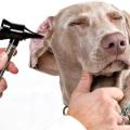 13 Remedios caseros para el perro de la infección del oído