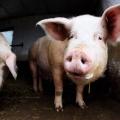 Cerdo de 400 libras salvado por la policía de Detroit