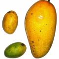 Mango africano, ingrediente potente para la pérdida de peso