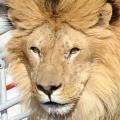 """Dentista estadounidense que mató a cecil el león es 'el hombre más odiado en el mundo en este momento """""""