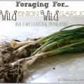 La recolección de la cebolla el ajo y otras hierbas de primavera