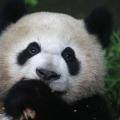 El más antiguo panda gigante tiene ahora dos récords mundiales Guinness