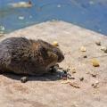 Los científicos descubrieron nuevos virus en ratas ny