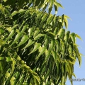 Beneficios de belleza de neem para su cara y la piel